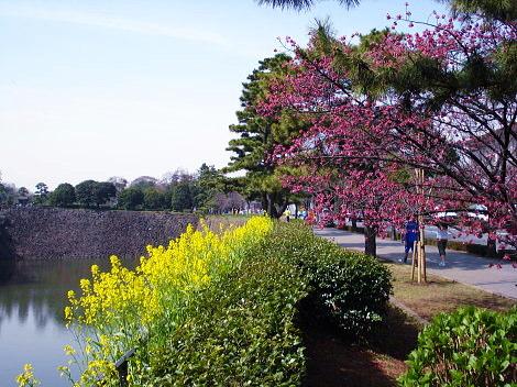 竹橋 桜と菜の花