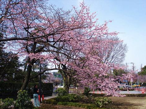 桜満開全景