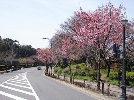 道路沿い桜