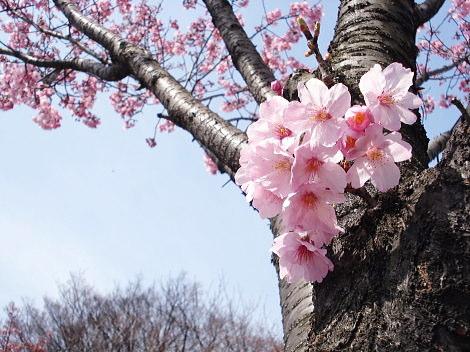 道路沿い桜近景