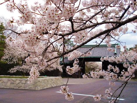 2皇居背景桜