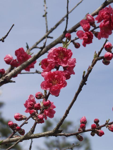京都御苑内京都御所の南西、蛤御門近くの桃園で咲いている紅い桃の花の写真