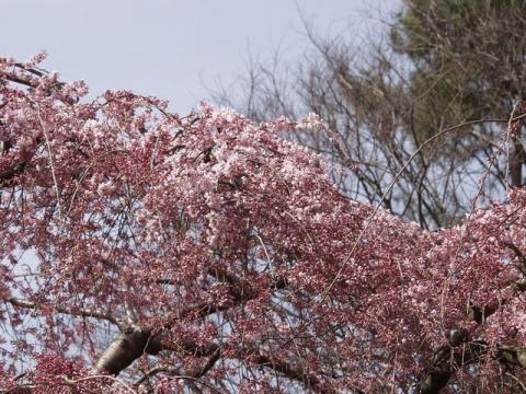 京都御苑内京都御所の北側に位置する近衛池の畔の枝垂れ桜が咲き出した写真