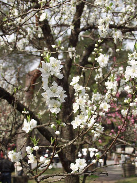 京都御苑内京都御所の南西、蛤御門近くの桃園で咲いている白い桃の花の写真