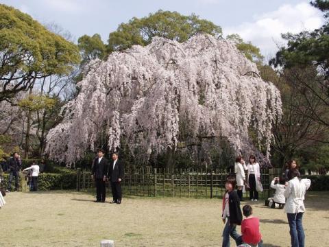 京都御苑内京都御所の南西、出水の小川の東側にある満開の枝垂れ桜の写真