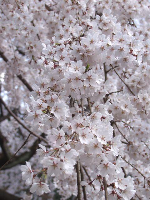 京都御苑内京都御所の北側に位置する近衛池の畔に咲く満開の枝垂れ桜の写真