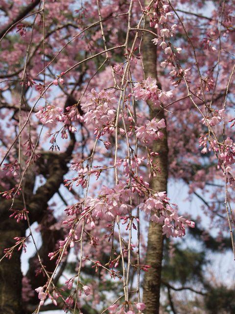 京都御苑内京都御所の北側に位置する近衛池の近くに咲く五分咲きのピンクの枝垂れ桜の写真