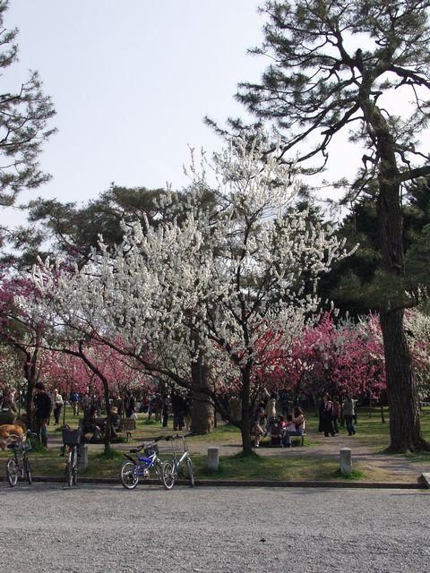 京都御苑内京都御所の南西、蛤御門近くの桃園の満開の桃の花の写真