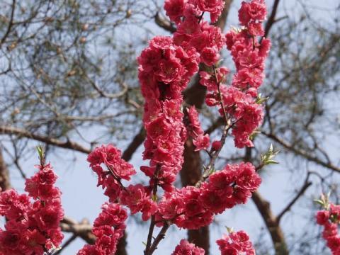 京都御苑内京都御所の南西、蛤御門近くの桃園の満開の紅い桃の花の写真