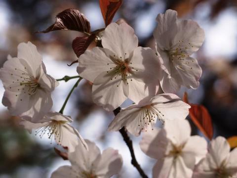 御苑内の桜、アップP4052656.jpg