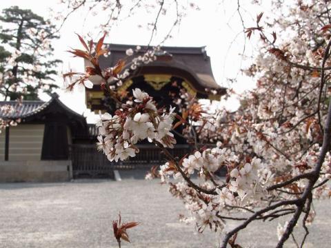 御苑内、御所の建春門前の桜P4052707.jpg