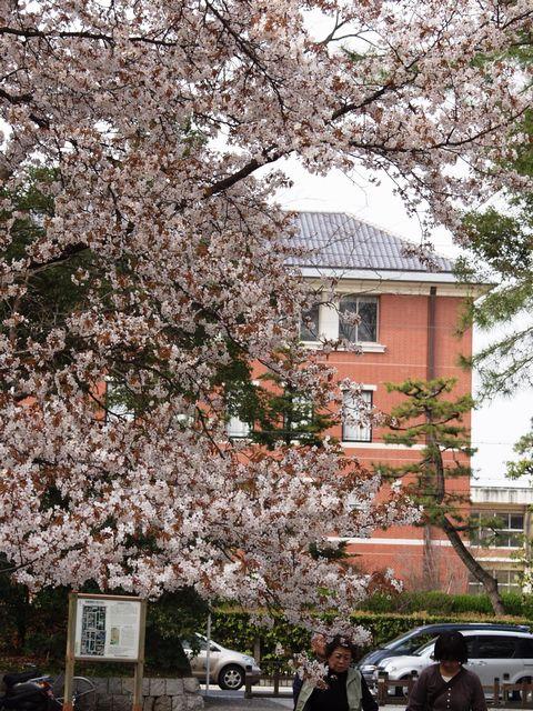 御苑内、御所の北西側の今出川口の桜、バックは同志社大学P4052761.jpg