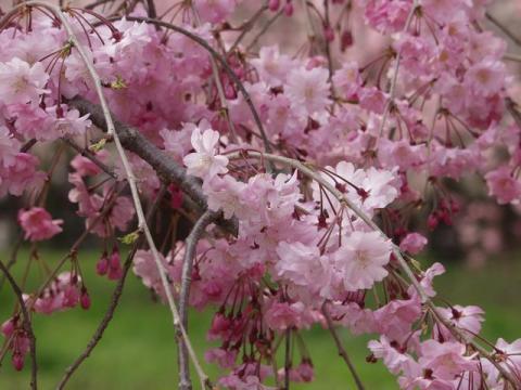 京都御所の北側、近衛邸跡のピンクの枝垂れ桜P4052778.jpg