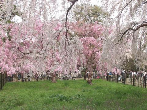 京都御所の北側、近衛邸跡の枝垂れ桜P4052786.jpg