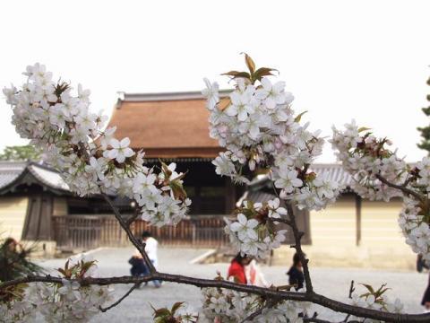 御苑内、御所の宜秋門前の桜P4052799.jpg