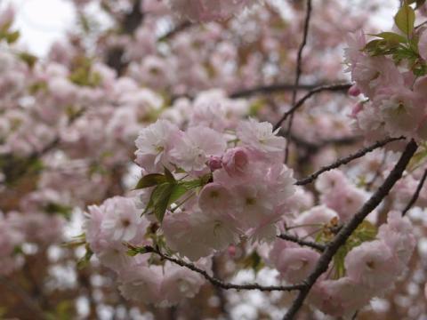 牡丹桜P4132974.jpg