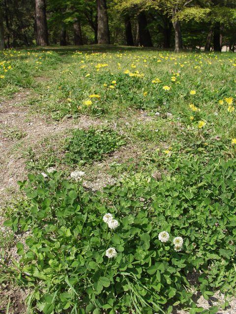 白詰草と蒲公英P4203136.jpg
