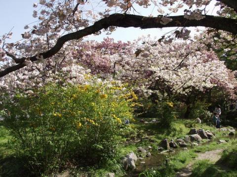 御苑内、御所の南西、出水の小川付近の牡丹桜と山吹P4203168.jpg