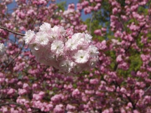御苑内、御所の南西、出水の小川付近の牡丹桜P4203200.jpg