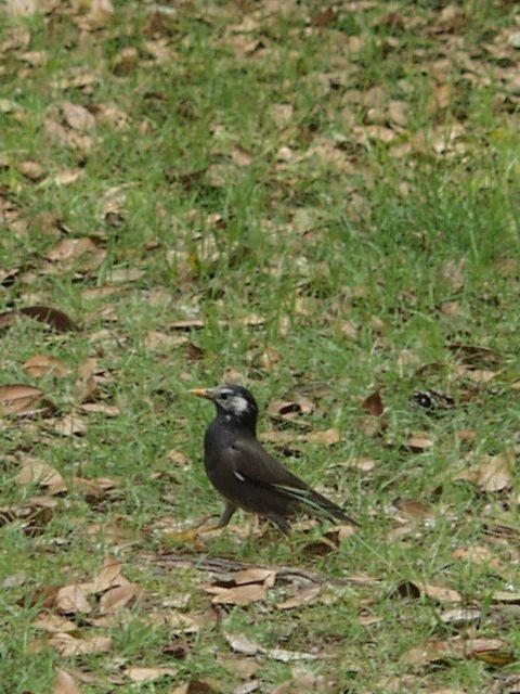 御苑内に住んでいる椋鳥P4263213.jpg
