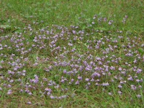 御苑内の紫鷺苔P4263219.jpg