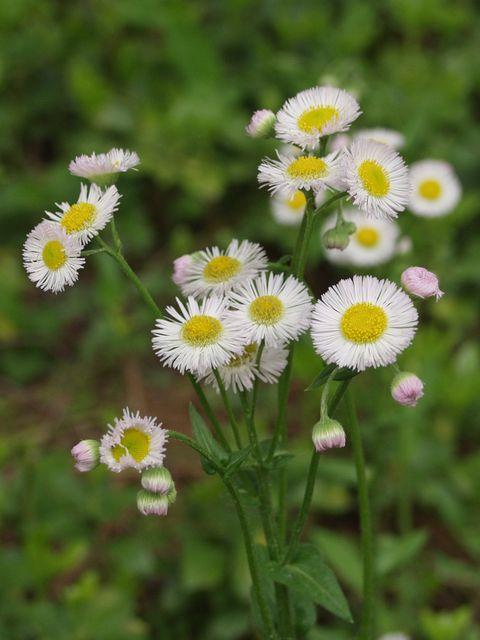御苑内の春紫苑P4263221.jpg