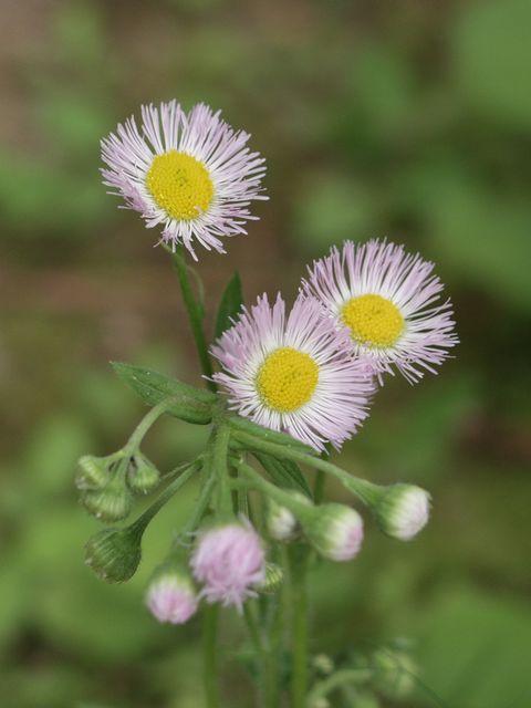 御苑内の春紫苑P4263230.jpg