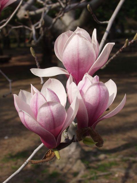 御苑内御所の西側にある満開の木蓮