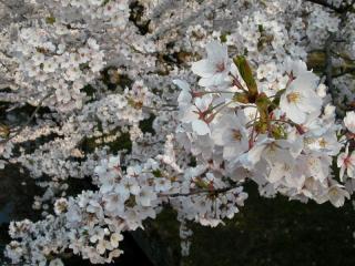 08sakura_6.jpg