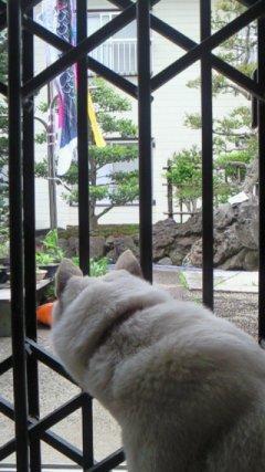 愛子と鯉のぼり2