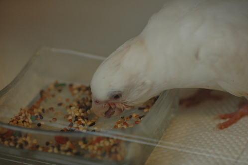 7月9日文鳥用フード味見