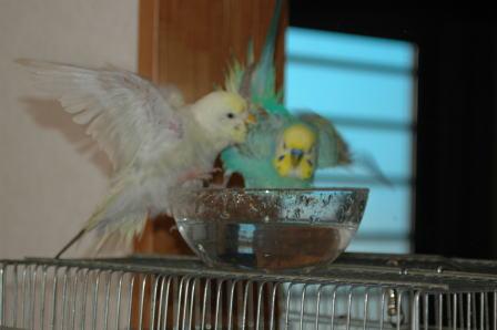 2羽で水浴び