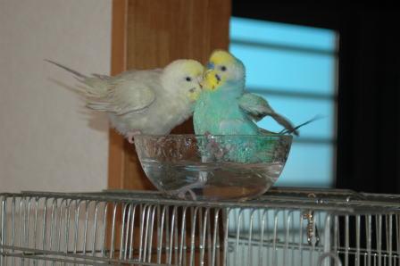 2羽で水浴びその2