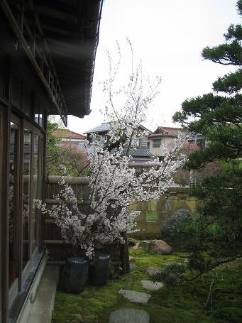 桜茶会 045shou