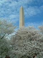 ワシントンモニュメントと桜