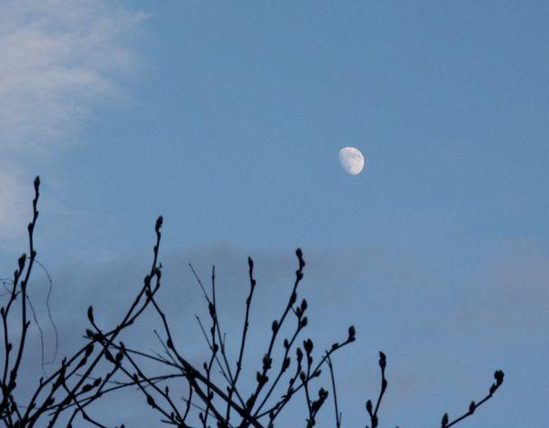 落葉したモクレンの向こうには、白い月