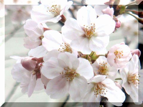 2008年 3月30日 桜