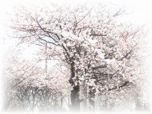2008年 3月30日  桜並木