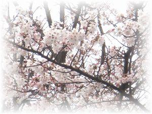 2008年 3月30日 桜 桜