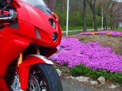 山中湖の柴桜