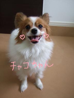 2008 3 20  パピヨンチャコちゃん①