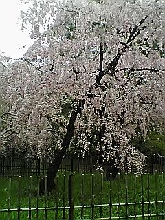 まだまだ咲いてます。