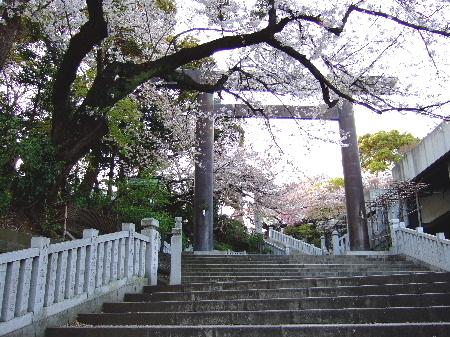 またたび神社の桜