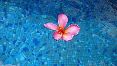 プールに浮かぶフランジパーニ