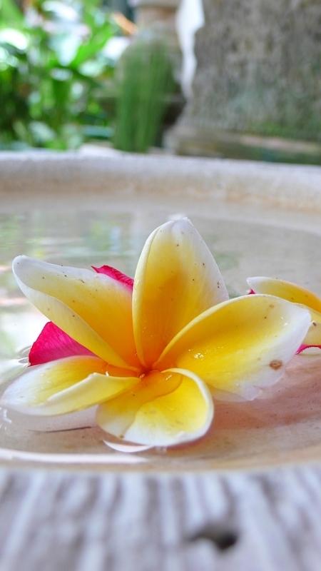 フランジパーニの花