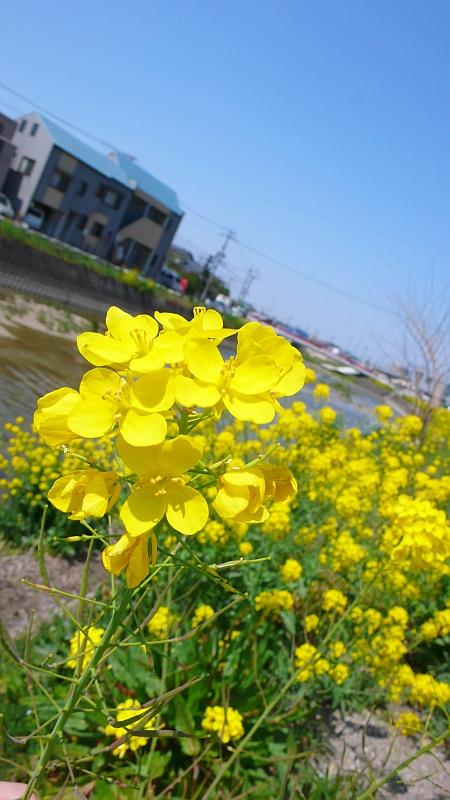 菜の花が咲く