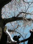 sakura-cycling01.jpg