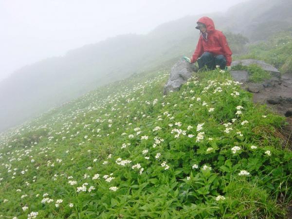 濃霧の富良野岳山頂近くにて 花を見ながら一休み