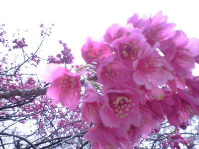 kanhizakura.jpg
