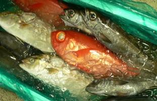 房州産の新鮮な魚たち